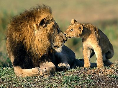 Lions / Lion & Cub 8 x 10 / 8x10 GLOSSY Photo Picture