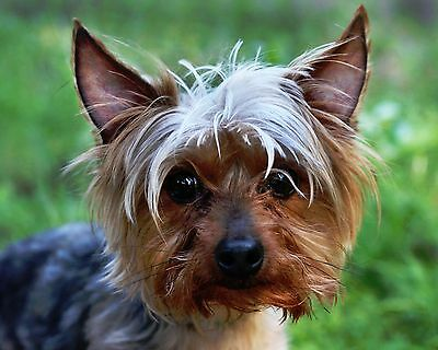 Yorkshire Terrier - Yorkie / Dog 8 x 10 / 8x10 GLOSSY Photo Picture