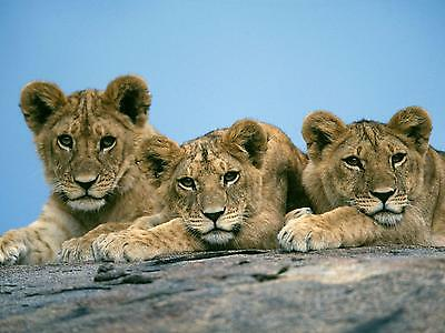 Lions / Lion - Baby Cubs 8 x 10 / 8x10 GLOSSY Photo Picture IMAGE #4
