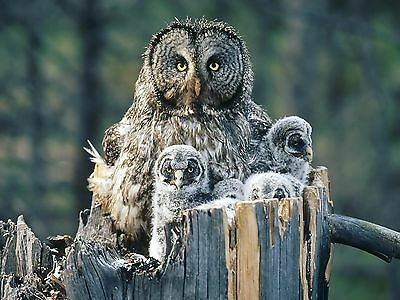 Owl / Owls Bird 8 x 10 / 8x10 GLOSSY Photo Picture IMAGE #6