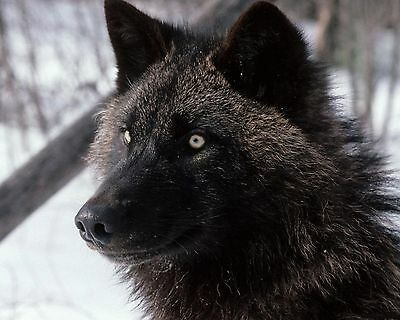 Black Wolf 8 x 10 / 8x10 GLOSSY Photo Picture IMAGE #9