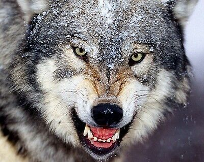 Wolf 8 x 10 / 8x10 GLOSSY Photo Picture IMAGE #10
