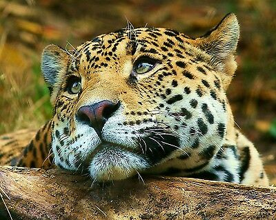 Leopard / Wildcat 8 x 10 / 8x10 GLOSSY Photo Picture IMAGE #3