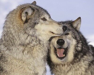 Wolf / Wolves 8 x 10 / 8x10 GLOSSY Photo Picture IMAGE #13