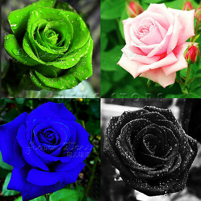 ROSE SEEDS  Rare Rainbow Pink Purple Green  Black White Red Blue Rose Seeds