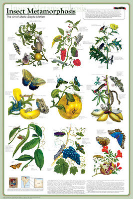 (Laminated) Insect Metamorphosis Poster (61X91Cm) Educational Wall Chart Picture