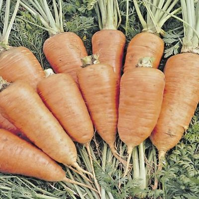 Vegetable Carrot Chantenay Red Cored min 4000 seeds