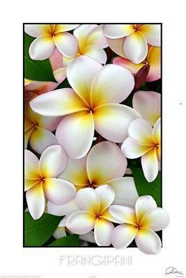 (LAMINATED) FRANGIPANI SOFT PINK POSTER (61x91cm)  PICTURE PRINT NEW ART