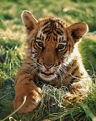 Baby Tiger / Cub 8 x 10 / 8x10 GLOSSY Photo Picture IMAGE #10