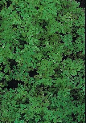 ORGANIC Chervil 'Curled' appx 100 seeds Herb / Vegetable