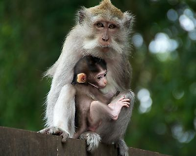 Monkey & Baby / Ape 8 x 10 / 8x10 GLOSSY Photo Picture IMAGE #6