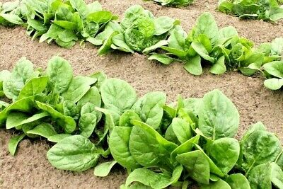 SPINACH 'Winter Giant' 50+ seeds *ORGANIC* english HARDY vegetable cool season