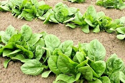 SPINACH 'Winter Giant' 50+ seeds english HARDY vegetable cool season ORGANIC