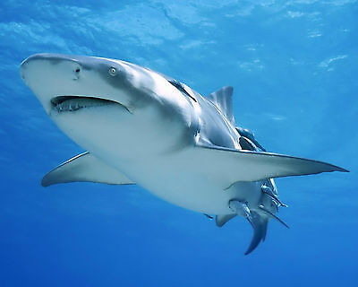 Shark 8 x 10 / 8x10 GLOSSY Photo Picture