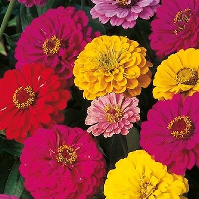 Zinnia Giant Dahlia Flowered mix - 150 seeds - Annuals