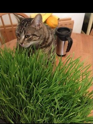 Cat Rabbit Grass Seed Various Sizes
