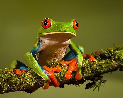 Frog / Frogs 8 x 10 / 8x10 GLOSSY Photo Picture IMAGE #8