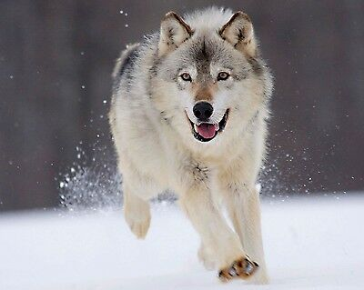 Wolf 8 x 10 / 8x10 GLOSSY Photo Picture IMAGE #19