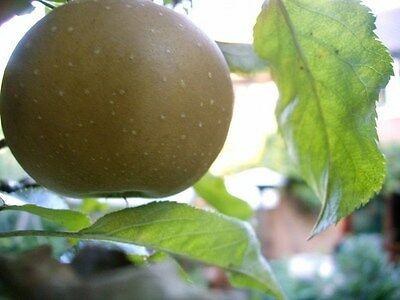 'Egremont Russet' Apple Tree 4-5ft, Self-Fertile,Ready to Fruit,Hardy & Vigorous