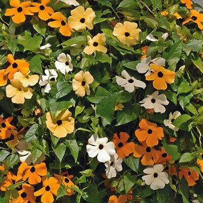 Thunbergia Alata Mix - Black Eyed Susan -  30 seeds - annual