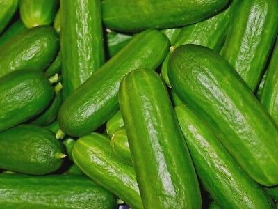 LEBANESE CUCUMBER 15 seeds *ORGANIC* burpless vegetable seeds garden veggie easy