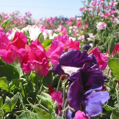 Sweet Pea - Patio - Early Flowering Mix - Dwarf - 60 seeds - Annual