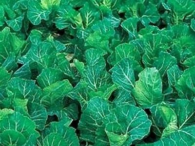 Vegetable Cabbage Mastergreen Pointed min 200 seeds