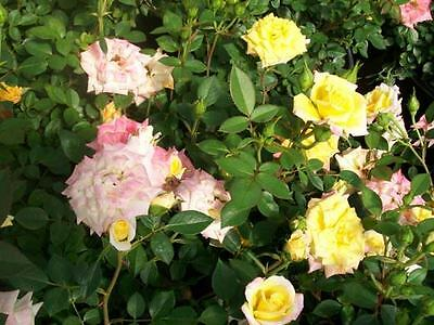 Rainbows End Yellow Red Miniature Rose 1 Gal. Live Plants Plant Fragrant Roses !