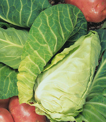 Vegetable Cabbage Wheelers Imperial Appx 800 seeds