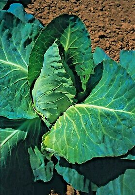 Vegetable Cabbage Greyhound Sweetheart type Appx 2100 seeds