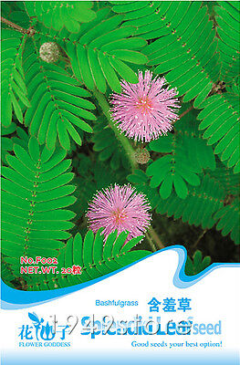 seeds Foliage Mimosa pudica Sensitive F002