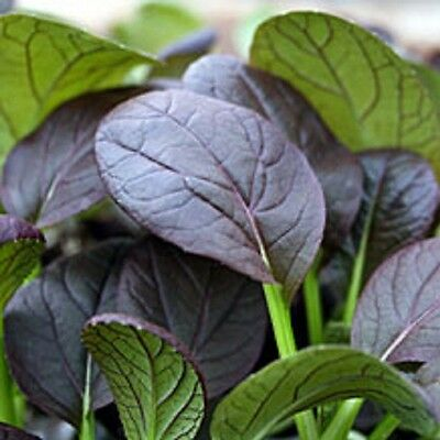 Vegetable Komatsuna Red 450 seeds Oriental