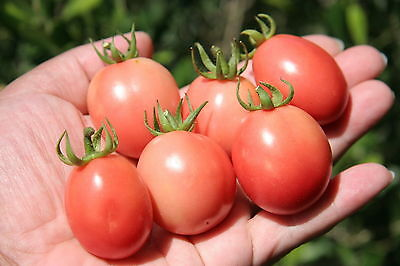 TOMATO 'Thai Pink Egg' 25+ seeds TROPICAL HUMID CLIMATES vegetable garden BUSH