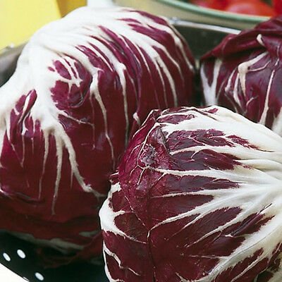 RADICCHIO 'Palla Rossa' 150+ seeds winter vegetable garden UNUSUAL salad green