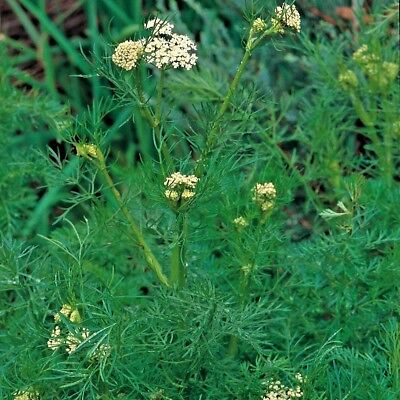 Caraway (Carum carvi) appx 2000 seeds - Herb