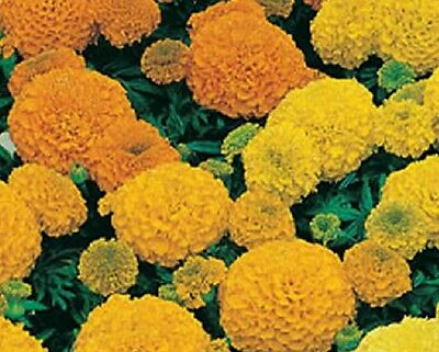 Marigold Sierra Mixed - African type  Appx 100 seeds - annual
