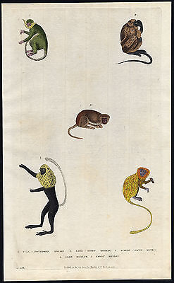 Antique Print-LONG NOSED MONKEY-SILKY-TAWNY-PURPLE FACED LANGUR-Martyn-1785