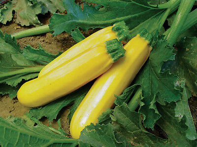 ZUCCHINI 'Golden' 10 seeds ORGANIC yellow UNUSUAL vegetable garden zuchinni EASY