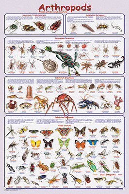Arthropods Poster (61X91Cm) Educational Chart Picture Print New Art