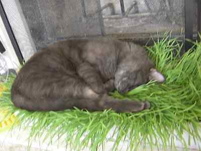 100 gms Sweet Oat grass seeds grown in Sussex for Cats and other pets