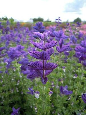 Clary - Oxford Blue - 100 seeds - Annual