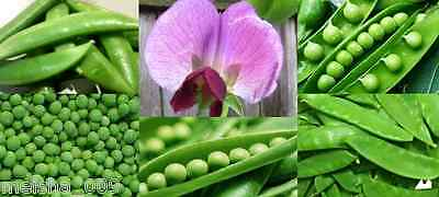 PEA Heirloom Mix 20+ seeds snow snap mixed WINTER vegetable garden EASY TO GROW