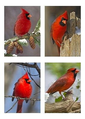 4 - Birds / Bird - Red Cardinal 5 x 7 / 5x7 GLOSSY Photo Picture LOT #2