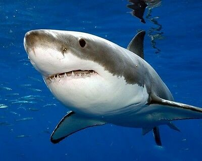 Shark 8 x 10 GLOSSY Photo Picture IMAGE #3