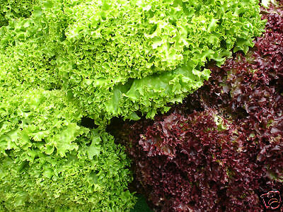 LETTUCE 250+ seeds 'Salad Bowl Mixed' vegetable garden RED + GREEN salad greens