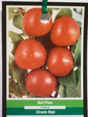 4'-5' RED PLUM Fruit Tree Plums Plant Your Trees Now Ship to all 50 States USA !