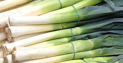 LEEK 'Blue Solaise' 150+ seeds winter vegetable garden HEIRLOOM cool climates