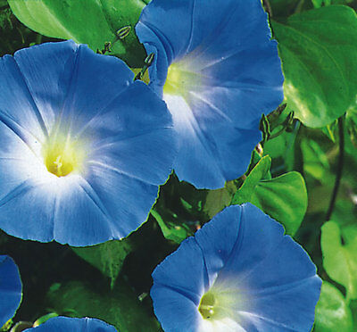 Ipomoea - Morning Glory - Heavenly Blue - 100 seeds