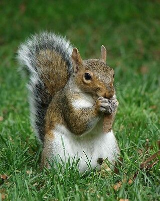 Squirrels / Squirrel 8 x 10 GLOSSY Photo Picture Image #14