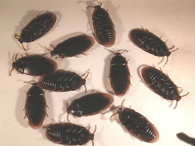 """6     Fake Rubber Cockroach 2"""" rubber cockroaches. Fun Prank!  FREE  SHIPPING"""
